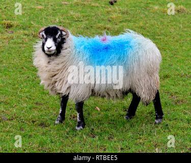 Swaledale sheep,blue paint marking - Stock Image