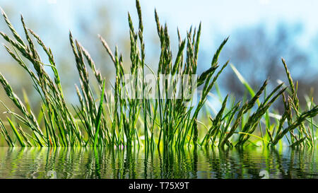 Flowering grass in detail - Allergens - Allergy in Germany - Stock Image