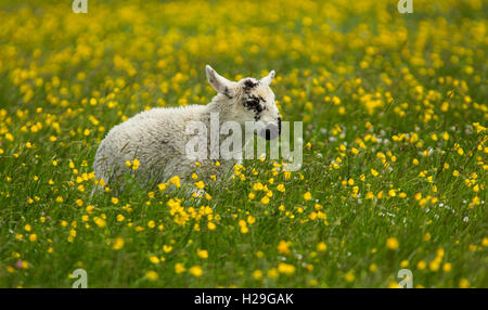 A young lamb frolicking through the buttercups of the machair on the Island of Harris in the Outer Hebrides, Scotland - Stock Image