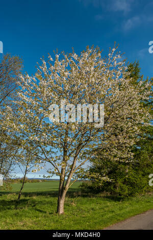 A single wild cherry tree Prunis Avium in full blossom against a clear blue sky background in spring sunshine - Stock Image