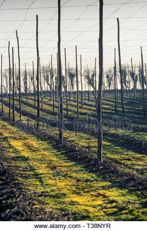 Hop fields in winter, near Isnage Farm, Bentley, Hampshire, England. UK. Hops are no longer grown in this area – 1980s (1981) - Stock Image