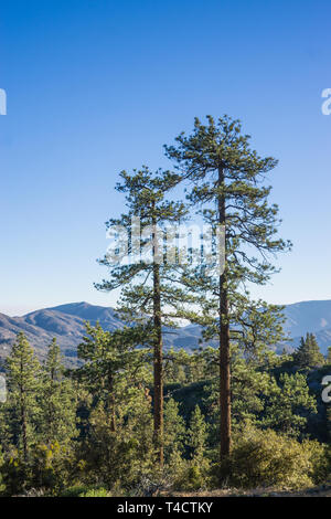 Twin pine trees stand side by side above wooded forest in mountain wilderness. - Stock Image