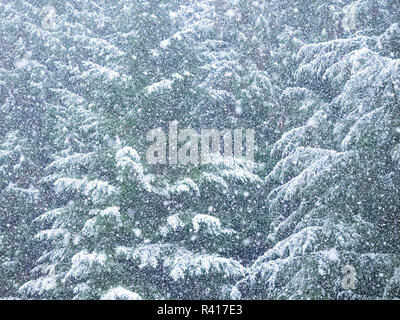 Fresh snow on evergreen trees - Stock Image
