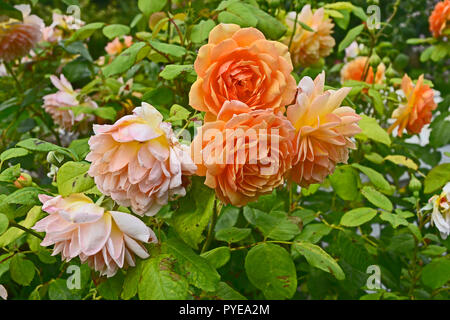 Close up of Rosa Compassion in a flower garden - Stock Image
