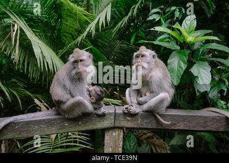 Two Balinese Long-Tailed Monkeys sitting on a wall, Sacred Monkey Forest Sanctuary, Ubud, Bali, Indonesia - Stock Image