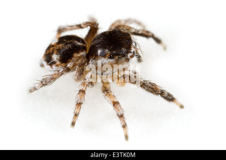 Male Sitticus saltator spider, part of the family Salticidae - Jumping spiders. Isolated on white background. - Stock Image