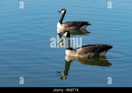 Canada goose (branta canadensis) swimming on a calm lake with reflection - Stock Image