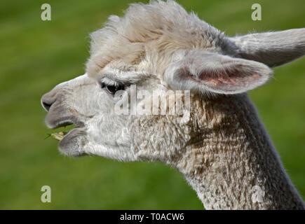 Alpaca (lama pacos) - Stock Image