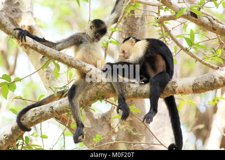 White-faced Capuchin Monkey (Cebus capucinus) grooming a Central American Spider Monkey (Ateles geoffroyi). Santa - Stock Image