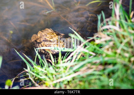 A pair of mating Common Toads (Bufo bufo) with their heads above the surface at the edge of a pond. - Stock Image