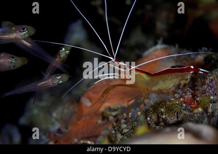 White-banded Cleaner shrimp (Lysmata amboinensis) waiting at cleaner station, Gaafu Alifu Atoll, Maldives - Stock Image