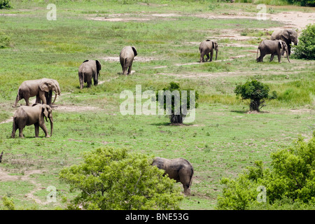 Herd of Savannah Elephants, Loxodonta africana, in Mole National Park, Ghana. - Stock Image