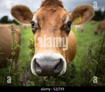 A close up portrait of the head of a brown dairy cow showing its large nose, ears and eyes looking directly at the camera - Stock Image