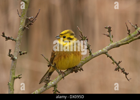 Male European Yellow Bunting perched on hawthorn twig - Stock Image