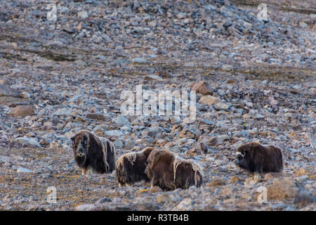 Greenland. Kong Oscar Fjord. Dream Bay. Herd of musk oxen. - Stock Image
