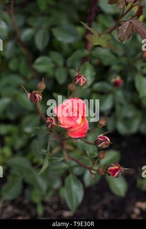 Roman Holiday floribunda rose at the Owen Rose Garden in Eugene, Oregon, USA. - Stock Image