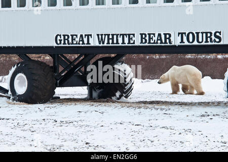 Polar Bear walking by the tundra lodge operated by the Great White Bear Tours on the subarctic tundra near Churchill, - Stock Image