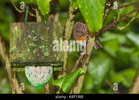 Juvenile European Robin (Erithacus rubecula) eying on fat ball - Stock Image