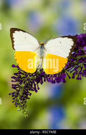 White and Yellow butterfly in the Pieridae family on purple Butterfly Bush - Stock Image