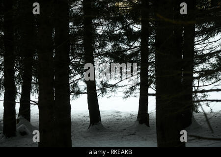 Inside the forest. Silhouette of coniferous forest trees in the snow. Adamello park, Passo del Tonale, Italy - Stock Image