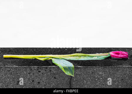 Withered red tulip flower on tombstone - Stock Image