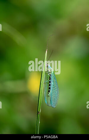 Lacewing (Chrysopidae) resting on a blade of grass - Stock Image