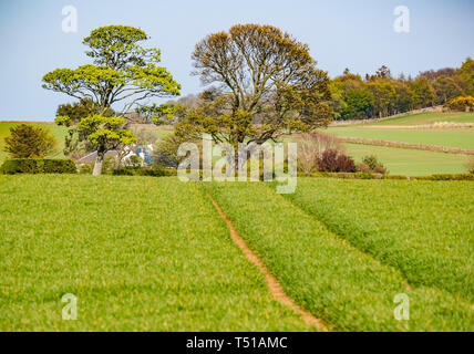 Tractor tracks leading through green grain crop field in agricultural landscape towards cottage, East Lothian, Scotland, UK - Stock Image