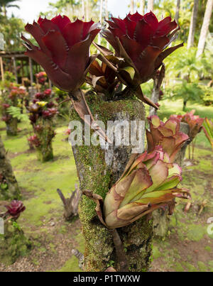 Bromeliads growing in Balata Botanical Gardens; Fort-de-France, Martinique - Stock Image