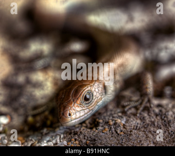 Yong common lizard looking at camera - Stock Image