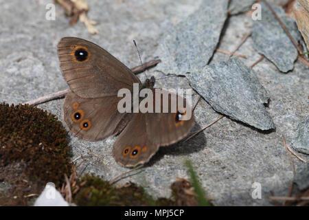 Northern Wall Brown (Lasiommata petropolitana) - Stock Image