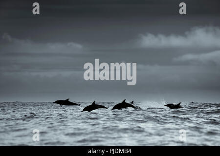 Common dolphins silhouette, Skellig Islands, Dingle, Kerry, Ireland - Stock Image
