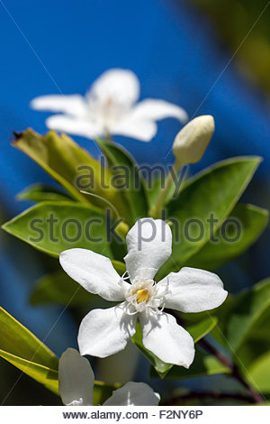 Wrightia antidysenterica known as Coral Swirl, Tellicherry Bark, Snowflake flower or White Angel - Stock Image
