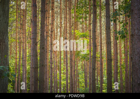 Horizontally growing tree trunks in a forest - Stock Image
