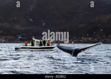 Humpback Whale (Megaptera novaeangliae) fluking in their winter feeding ground in fjords of Norway - Stock Image