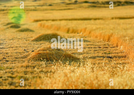 Barley field, Harvest season in summer - Stock Image