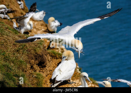Northern gannet airborne flying carrying nesting material in its beak, part of the largest mainland gannet colony in the UK at Bempton Cliffs. - Stock Image