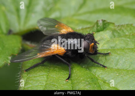 Noon Fly (Mesembrina meridiana) at rest on bramble leaf. Tipperary, Ireland - Stock Image