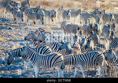 Herd or dazzle of Burchell's Zebras, Equus burchellii, coming to the Okaukuejo waterhole, Etosha National Park, - Stock Image