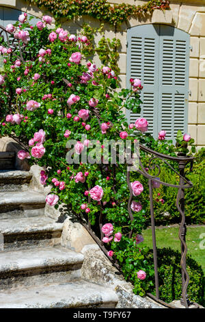 Blossom of pink rose flowers growing in castle garden in Provence, France, in sunny day - Stock Image