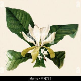 Magnolia Flower, Leaves - Stock Image