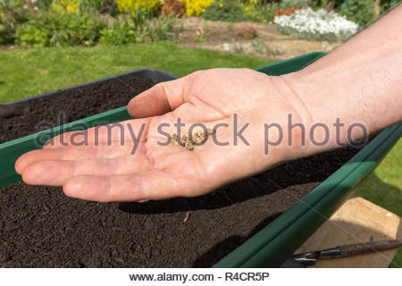 Gardener with beetroot seeds ready for planting - Stock Image