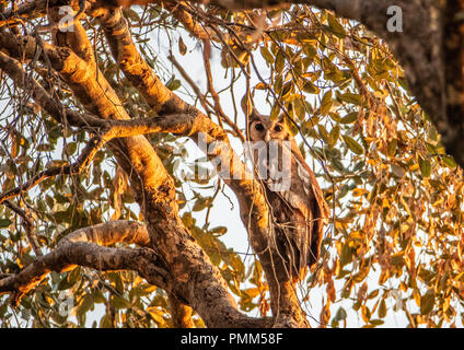 Verreaux's eagle-owl perched in a tree.  South Luangwa, Zambia - Stock Image
