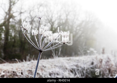Legbourne Woods, Lincolnshire. 31st Jan 2019. UK Weather: A Frosty, icy morning greets early dog walkers in Lincolnshire, ice, frost, mist, misty Winters morning, Dexter the Cockerpoo enjoying the weather - Stock Image