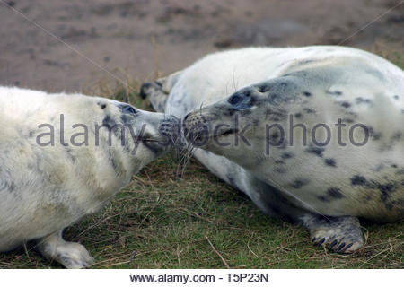 Grey Seal Pups Sniffing each other - Stock Image