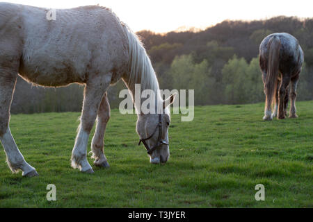 Ashford, Kent, UK. 10th Apr, 2019. UK Weather: The sun sets after a lovely sunny day in Ashford, Kent as these horses graze in a field. © Paul Lawrenson 2019, Photo Credit: Paul Lawrenson/ Alamy Live News - Stock Image