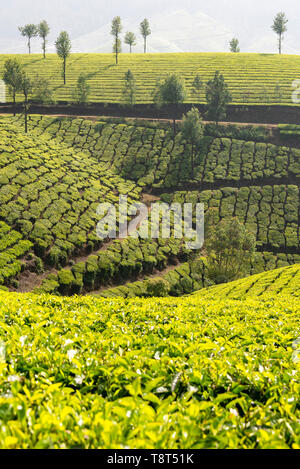 Vertical view of tea plantations in Munnar, India. - Stock Image