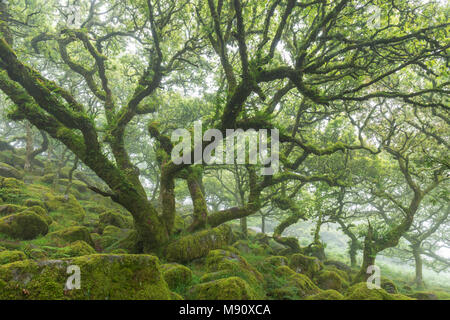 Gnarled, twisted, moss covered Stunted oak trees in Wistman's Wood SSSI, Dartmoor National Park, Devon, England. Summer (July) 2017. - Stock Image