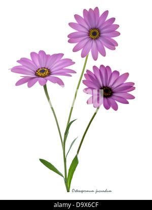 African daisy (Dimorphotheca jucunda) flowers back-lit on the white background June England UK Europe - Stock Image