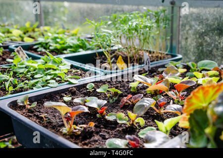 Seedlings growing in see trays in a greenhouse. These were grown at home by a keen gardener. - Stock Image