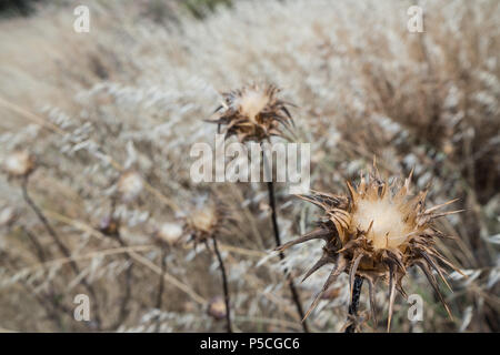 Thorny Thistles drying out in the Hot Climate of the Greek Summer in a Meadow. Saronida, Greece. - Stock Image